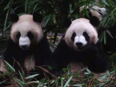 【パンダフル】パンダたちの厚い友情