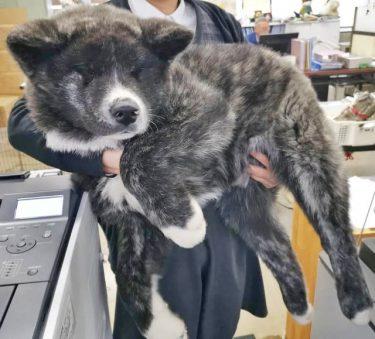 生後3カ月で18キロの秋田犬が「デカかわいい」と話題 どこまで大きくなるの?…秋田犬保存会に聞いた