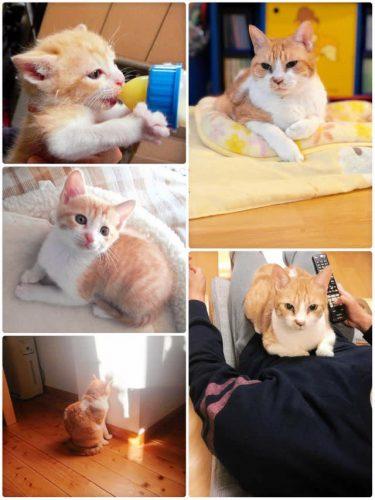 大学で保護された仔猫が幸せに成長…今はご主人様にべったり「まるで奥さんになったみたい」
