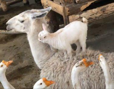 「わーい、ママの背中楽しーい!」飛び乗って遊ぶ子ヤギにラマ「産んだ覚えは…」ほっこり動画が話題