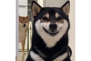 「めっちゃ口角上がってる〜」キラキラスマイルの柴犬…その笑顔の裏に隠されていたのは?