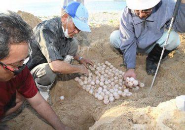 ウミガメ戻ってきた! 2年ぶり産卵「心配だった。大感動」 恩納・仲泊海岸