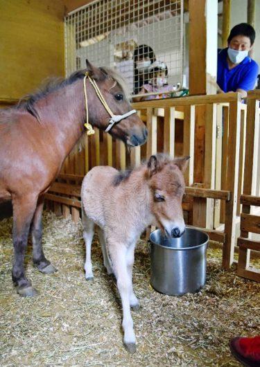 ミニチュアホースの赤ちゃん4年ぶり誕生 佐賀市のどんぐり村
