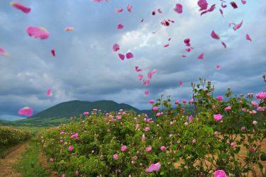 【いつか見たい世界の初夏絶景】バラの香りに包まれる「ブルガリア・カザンラク」