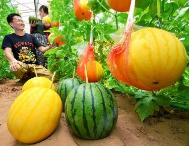 縁起良さげなスイカ、その名は金福 銀福も、福井市で収穫期