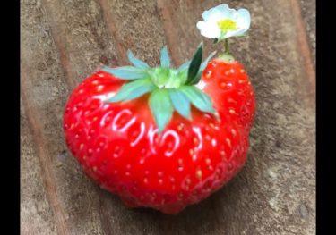 かわいすぎて食べられない… 農家が見つけた「奇跡のイチゴ」がこちら