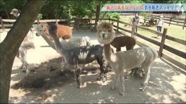 本格的な夏を前にモフモフを脱いだら…アルパカ牧場で熱中症予防の毛刈り<福島県郡山市>