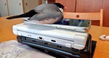「宿題が終わるまで、ゲーム機は預からせてもらいますぜ」と文鳥さん…そこで寝られちゃ、あぁ取れない!