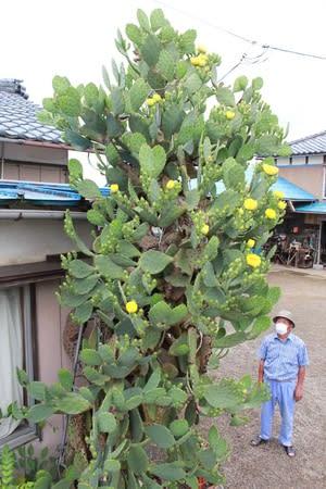幸福の黄色いサボテン 秋葉区の民家、花見ごろ