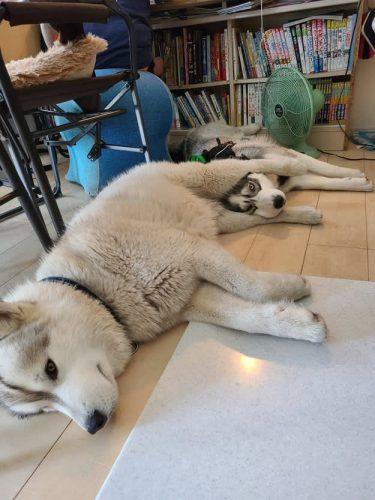 この状態で眠ったの?後ろ足にフィットする、仲良しハスキー犬2匹がかわいい