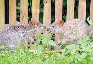 世界一幸せな動物・クオッカ、7月1日から公開 東松山・こども動物公園、観覧希望者には整理券を配布