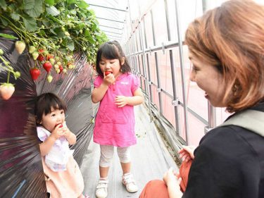 親子ら「3密」避けイチゴ狩り