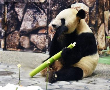 七夕に感謝込めて贈り物 白浜のパンダ永明と良浜