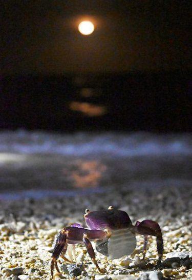 オカガニ月下の放卵 夜の道を渡り海へ 宮城島