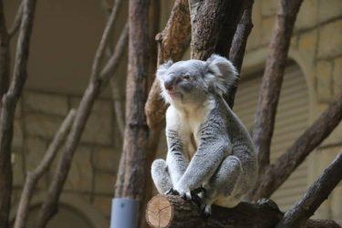 運動不足解消にも⁉ 動物園でコアラに癒やされてきました
