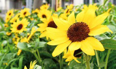 平塚市に出現!ひまわり500輪が咲く花壇