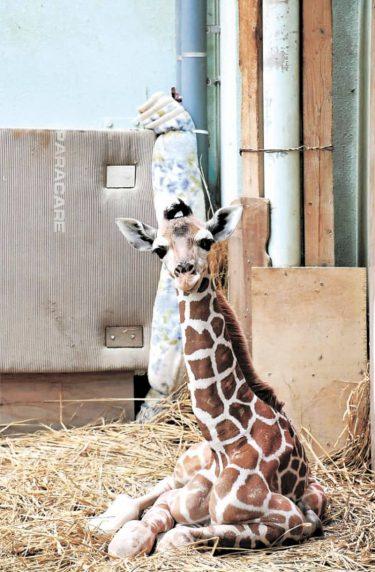 首長くして待ってたよ 雄キリン13年ぶり誕生 秋田・大森山動物園