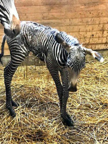 名前考えてね!グレビーシマウマの赤ちゃん公開 京都市動物園