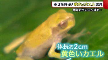 """幸せを運ぶ? """"黄色いカエル"""" 小学生が田んぼで発見【新潟・阿賀野市】"""
