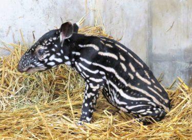 静岡市立日本平動物園で絶滅危惧種のマレーバクの赤ちゃん公開開始