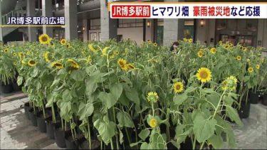 JR博多駅前にひまわり畑 約1000本が色鮮やかに 新型コロナの影響や豪雨被害の地域を応援