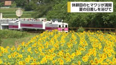高千穂町 休耕田のひまわりが満開 宮崎県