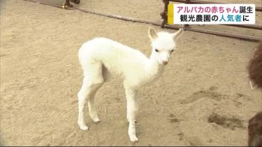 アルパカの赤ちゃん誕生 名前を募集中 観光農園の人気者に<岩手・八幡平市>