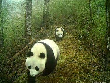 貴重なショット!野生パンダの親子連れがのんびり散歩