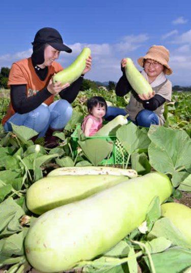 ずっしり 笑顔も実る 八幡平市でユウガオ収穫