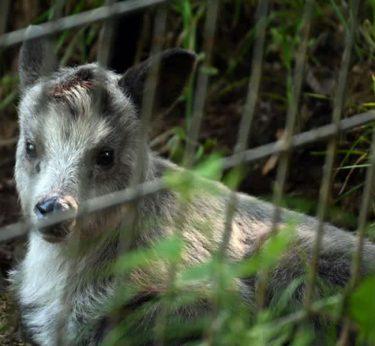 27年ぶり カモシカ赤ちゃん 盛岡市動物公園で誕生