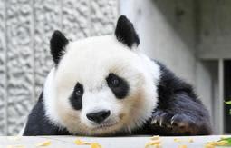 パンダ「タンタン」の観覧、平日は予約不要に 神戸・王子動物園