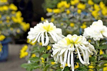9月9日は菊を楽しむ「重陽の節句」