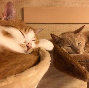 「兄弟離れ離れにしちゃダメだよ!」2匹一緒にもらわれた子猫たち、里親さん家で幸せに