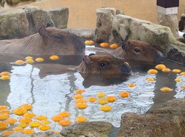 カピバラ「ゆず湯」でほっこり 富山市ファミリーパーク