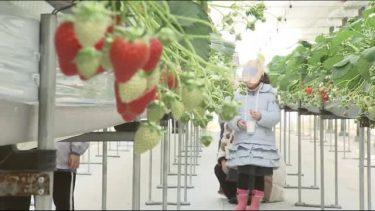 感染症対策徹底しながら福島県福島市でいちご園がオープン 園児たちが笑顔でいちご狩り