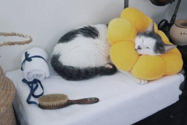 ポンデリングに頭を突っ込んで眠る猫さん この形のクッション、安全でペットを飼う人に人気です