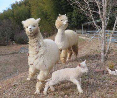 ランボルギーニを売却→アルパカたちを家にお迎え 動物が好きすぎて、庭が「牧場」に変身した