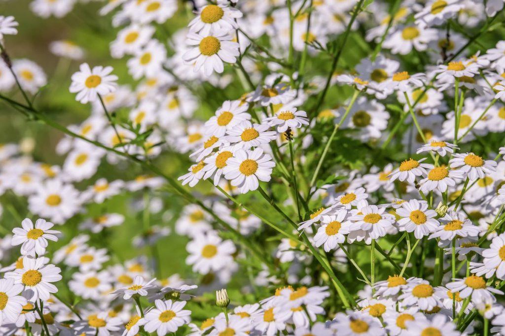 花粉症に効くハーブ「ジャーマンカモミール」
